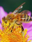 蜜蜂的生活习性资料 蜜蜂的寿命是多长时间