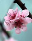 桃花是什么季节开 桃花是春天开的吗 桃花是什么季节开放的