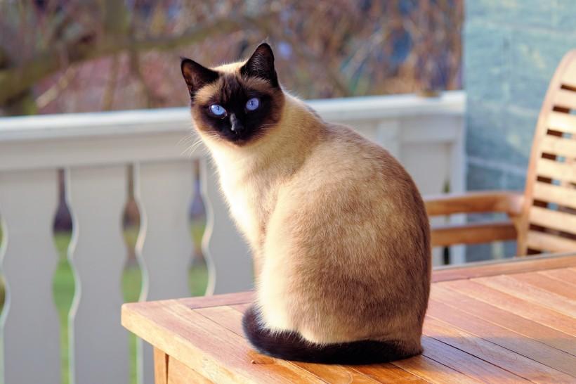 暹罗猫可爱图片