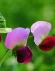 豌豆花有什么功效 豌豆花可以吃吗 豌豆花是完全花吗