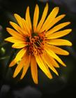 葵花菊图片 网友:黄色的花瓣美极了