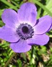 紫色银莲花图片 紫色银莲花的花语