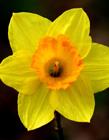 黄色木槿花图片 木槿花花语和传说