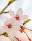 樱花是几月开 樱花是什么季节开的 樱花在什么季节开