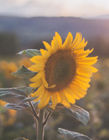 向日葵是什么植物 向日葵属于什么类植物 向日葵是什么季节开的