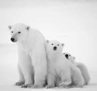 冬眠的动物北极熊刺猬图片