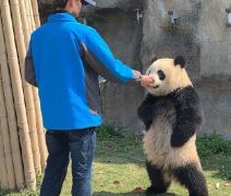 动物大熊猫叉腰卖萌讨吃图