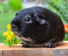呆萌仓鼠荷兰猪小动物图片