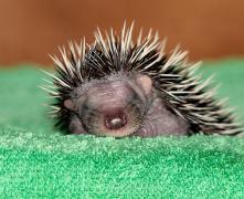 小刺猬动物高清摄影图片