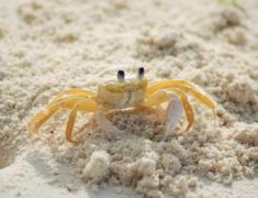 海边的螃蟹动物高清图片