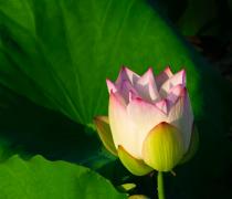 花苞荷花植物高清图片