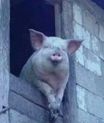 猪动物搞笑表情包图片合集大全