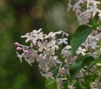 丁香花植物高清图片