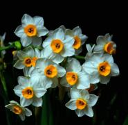 水仙花植物高清特写图片
