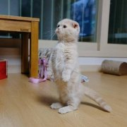 站立的小折耳猫可爱小动物图片
