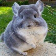 胖成球的龙猫萌宠动物微信头像大全