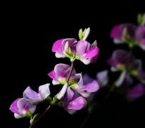 紫红色的扁豆花植物高清特写图片