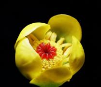 萍蓬草花植物高清特写图片