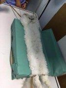 猫动物绝育吐舌头可爱搞笑图