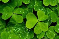 四叶草高清植物图片