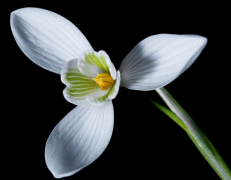 春季盛放的白色雪花莲植物高清图