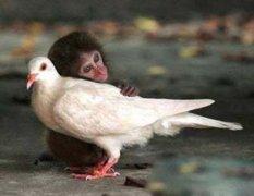 鸽子猴子动物秀恩爱温馨图片