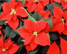 一品红植物高清图片
