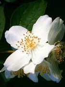茉莉花植物高清图片