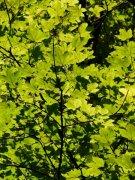 绿色的枫叶植物高清图片