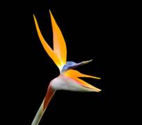 黑色背景的鹤望兰花植物高清图片