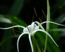 蜘蛛兰花植物高清图片