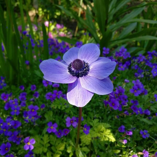 紫色的银莲花图片