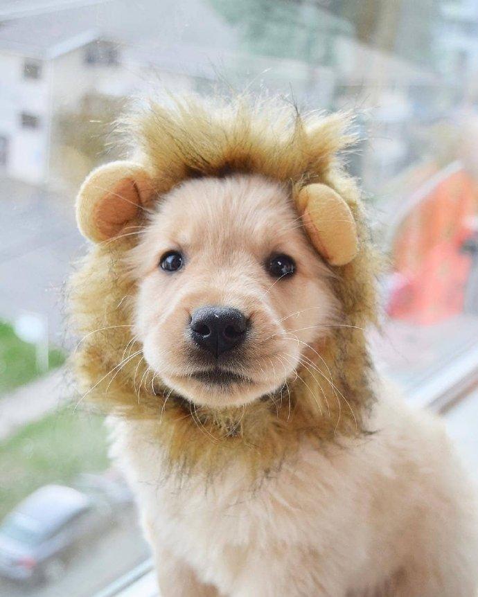 小狗cos狮子的图片