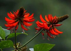 红色的刺桐花图片