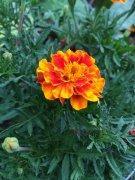 四季花万寿菊的图片