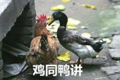 鸡的搞笑表情包图